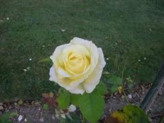 rose_chez Rodin.JPG